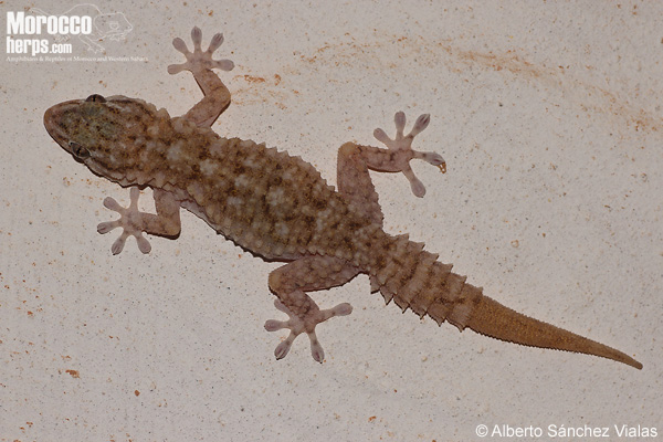 Tarentola mauritanica pallida