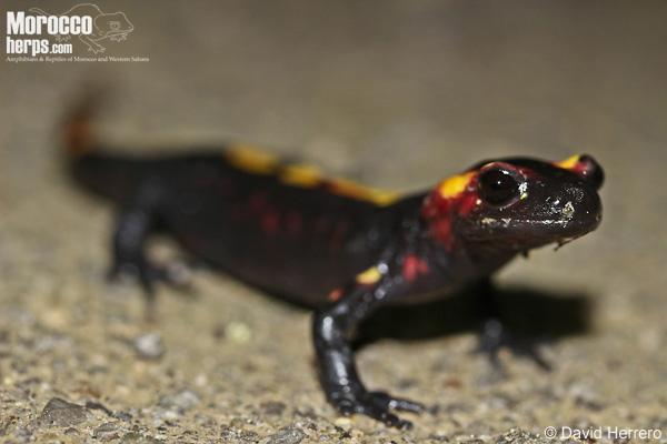Salamandra algira splendens