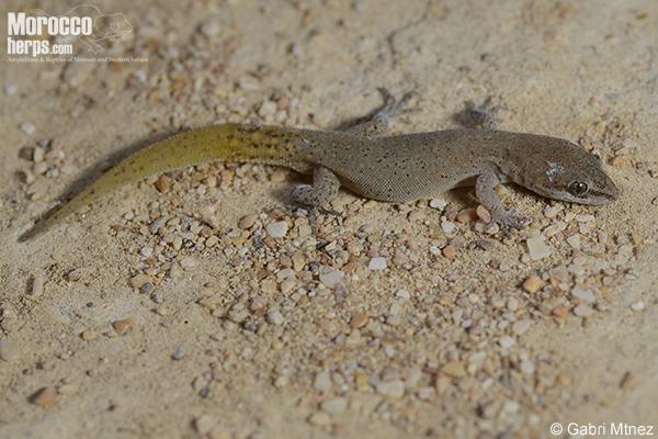Saurodactylus mauritanicus