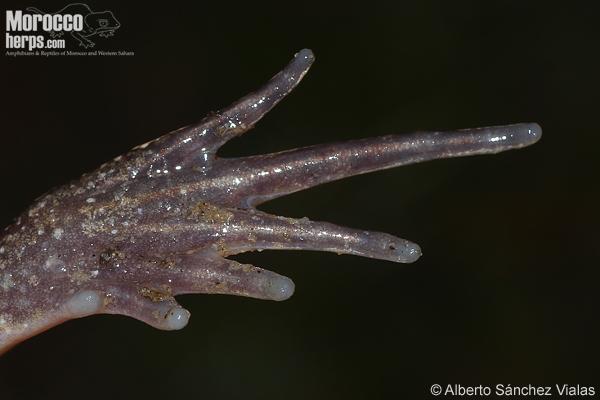 Discoglossus scovazzi
