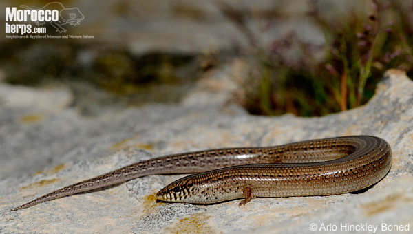 Chalcides mionecton