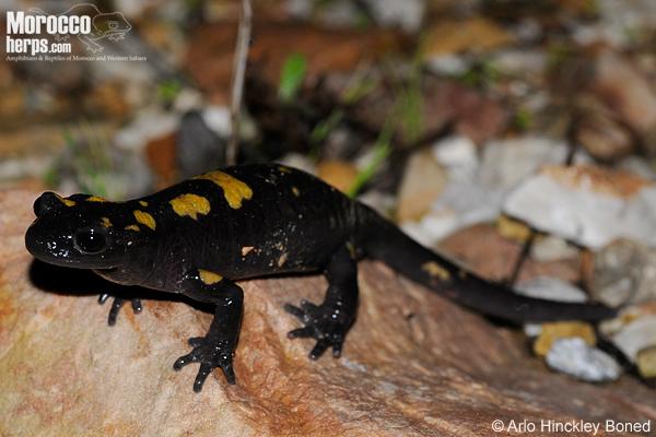Salamandra algira tingitana