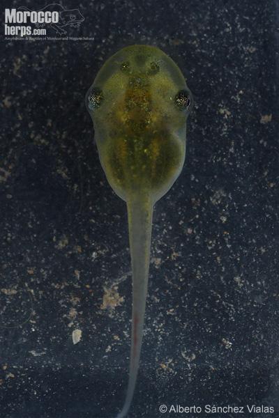 Larva de Pelobates varaldii