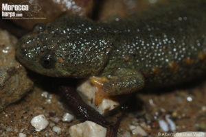 Pleurodeles waltl