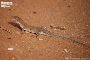 Acanthodactylus boskianus