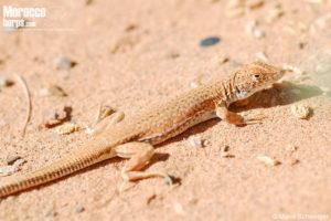 Acanthodactylus dumerilii