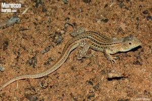 Acanthodactylus erythrurus lineomaculatus