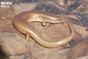 Chalcides ocellatus