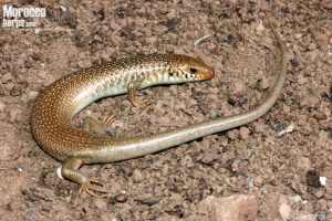 Chalcides polylepis