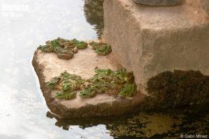 Pelophylax saharicus