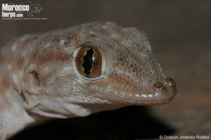 Ptyodactylus oudrii