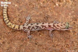 Saurodactylus fasciatus