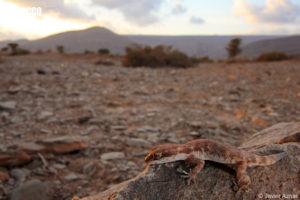 Tropiocolotes algericus