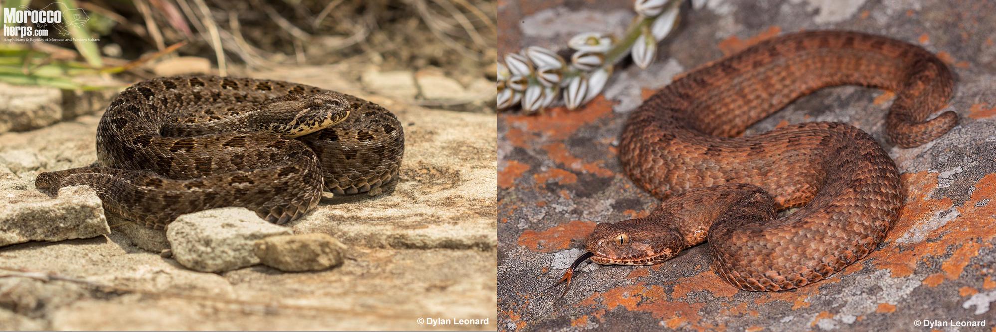 Bitis-atropos-Drakensberg-Mpumalanga-variability-pattern