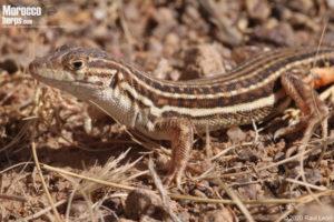 Acanthodactylus montanus
