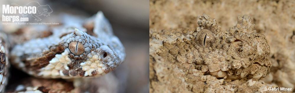 bitis-caudalis-urarachnoides-namibia-pseudocerastes-iran