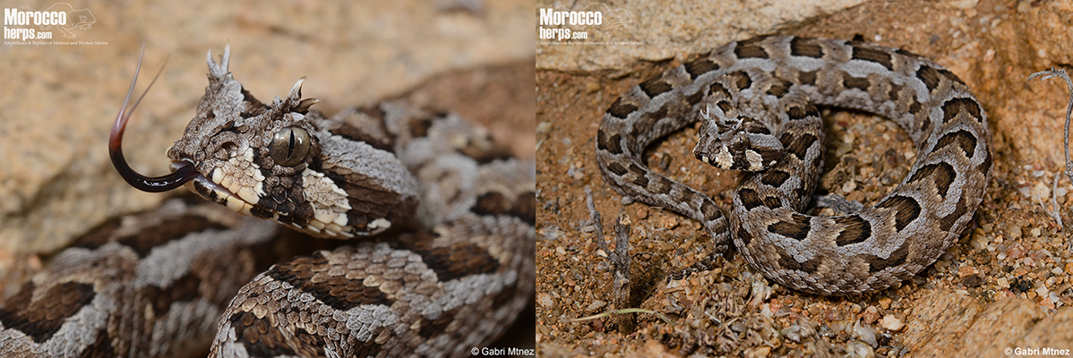 bitis-cornuta-namaqualand-south-africa-tongue-many-horned-adder