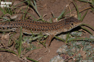 "Acanthodactylus erythrurus ""atlanticus"""
