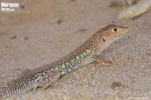 """Acanthodactylus erythrurus """"lineomaculatus"""""""
