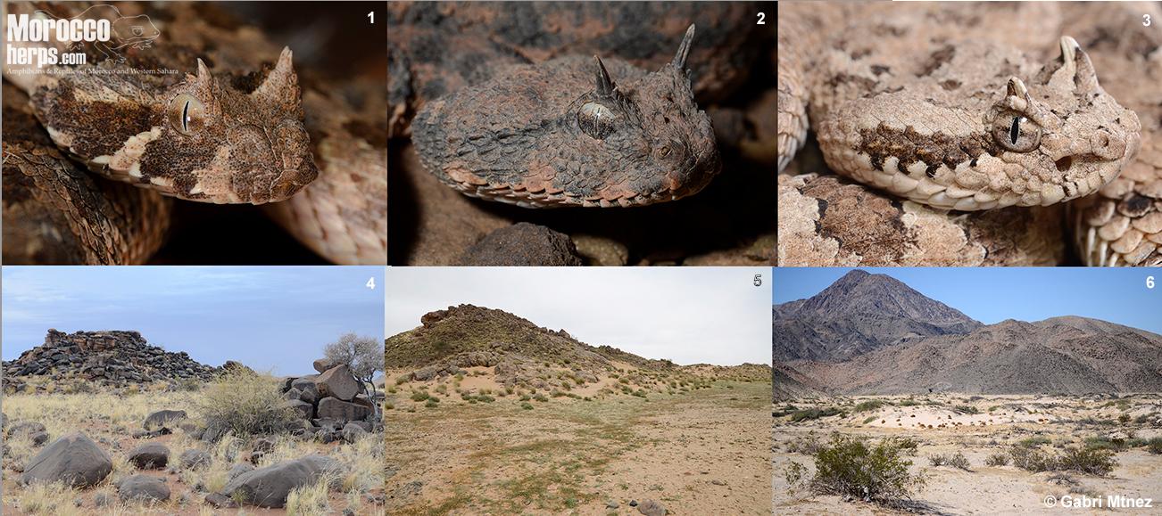 comparative-crotalus-cerastes-bitis-caudalis-arizona-namibia-morocco