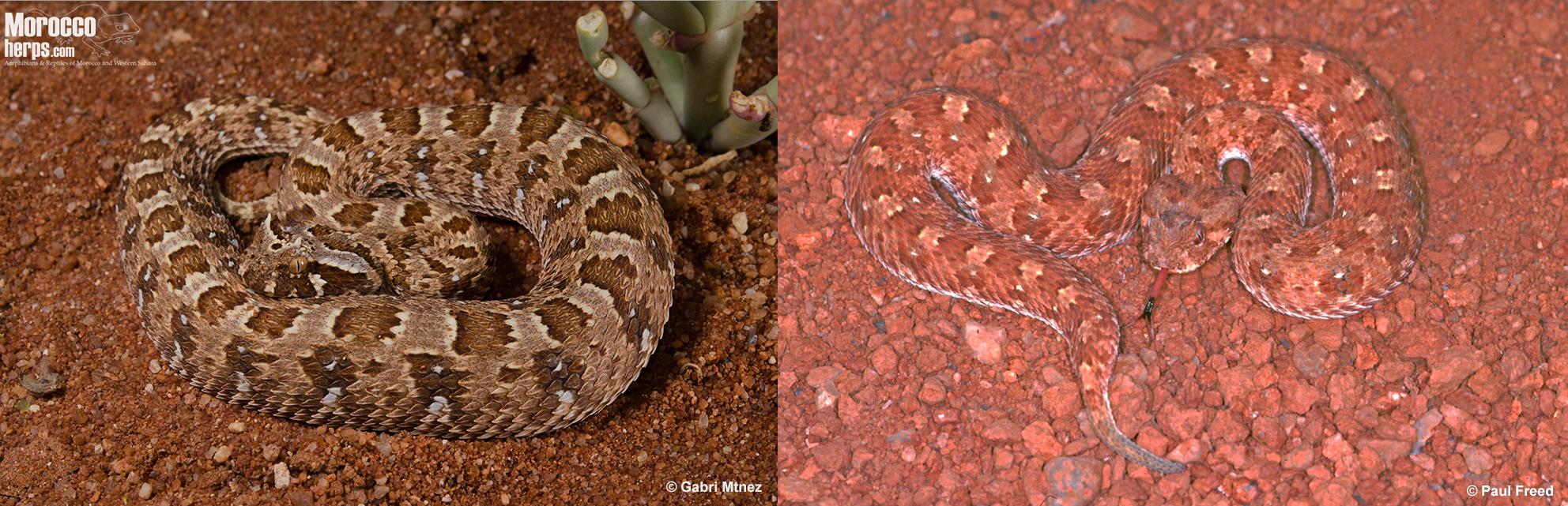 Bitis-caudalis-Namibia-Springbok