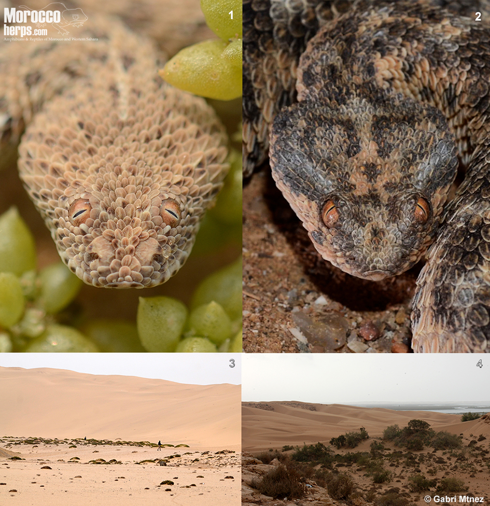 Comparative-Bitis-peringueyi-Cerastes-vipera