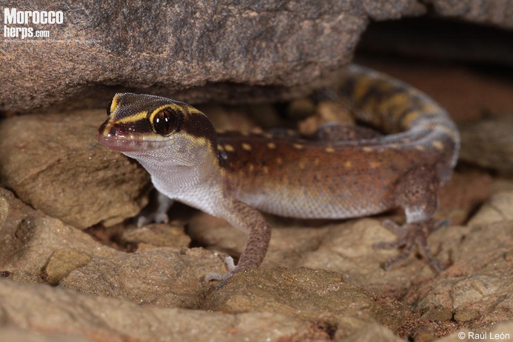 Saurodactylus slimanii