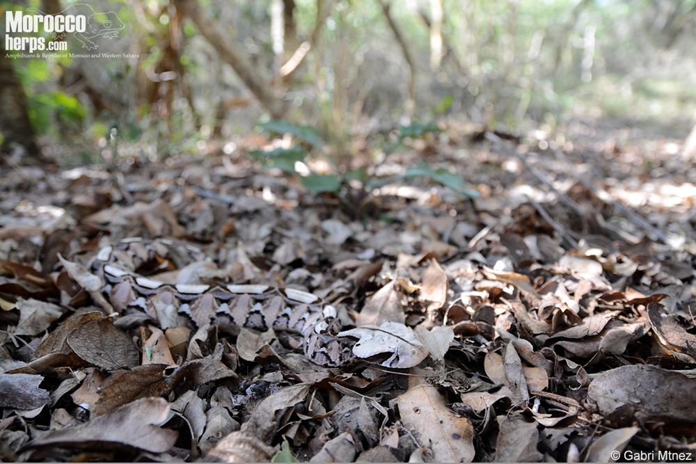 bitis-gabonica-habitat-south-africa-st-lucia