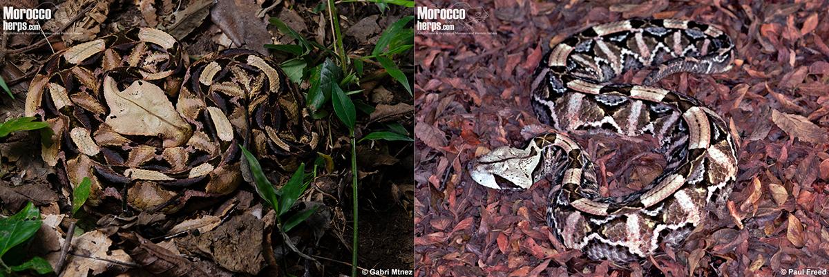 bitis-gabonica-rhinoceros-viper-uganda