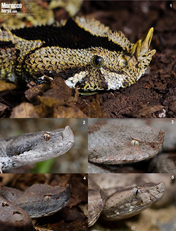 comparative-horn-horned-Bitis-nasicornis-Uganda-Vipera-latastei-Spain-Vipera-ammodytes-Croatia-Porthidum-nasutum-Ecuador-Hypnale-hypnale-Sri-Lanka
