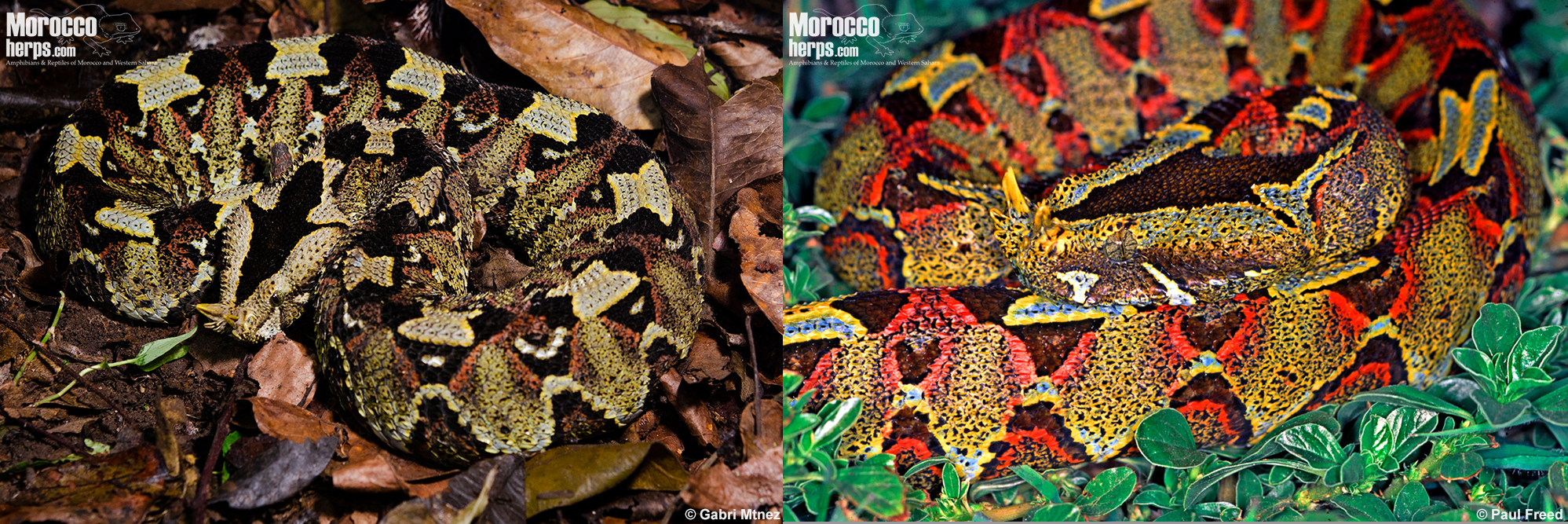 bitis-nasicornis-burundi-uganda-amazing-pattern-color-green
