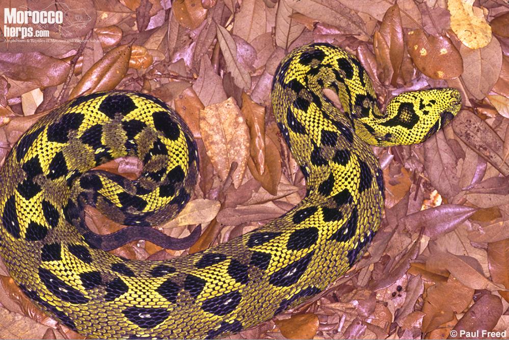 bitis-parviocula-parvicoula-yellow-bale-adder