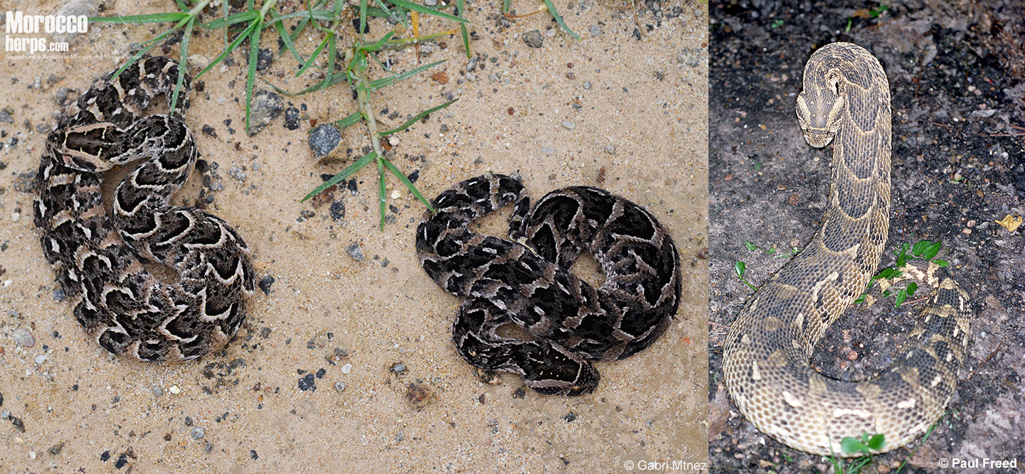 bitis-arietans-namibia-south africa-pattern-variability