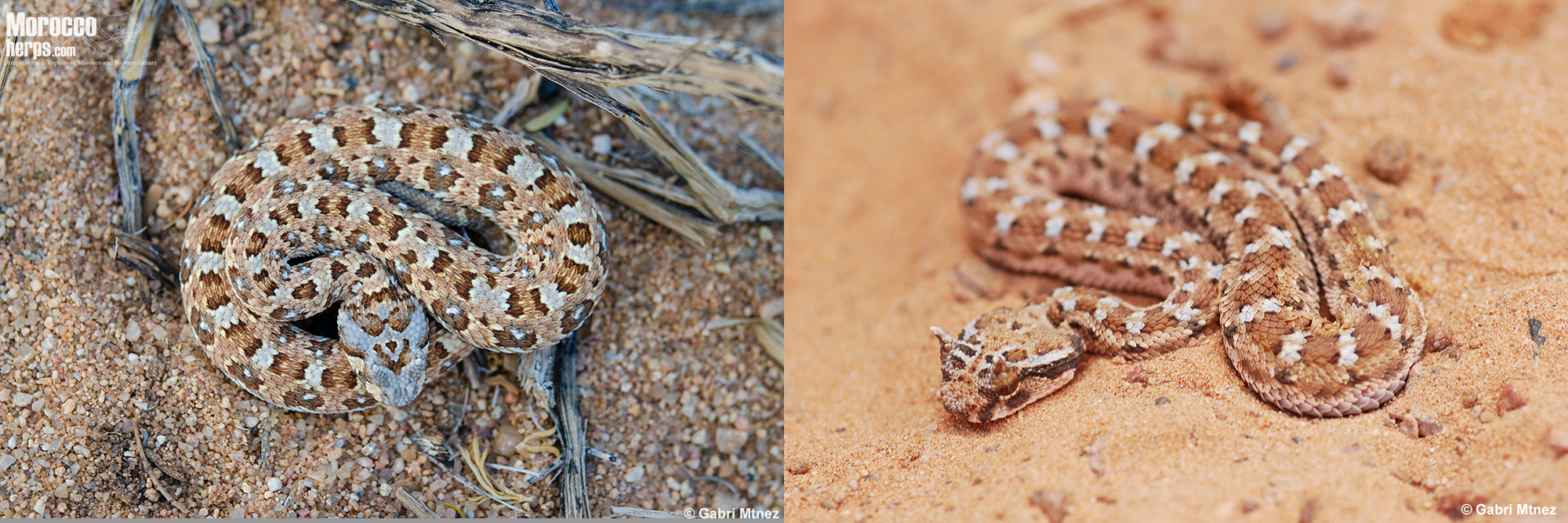 Bitis-caudalis-Namibia-Cerastes-cerastes- Morocco