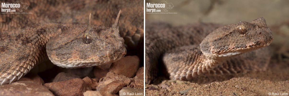 """Detalle de la cabeza de Cerastes cerastes, donde podemos apreciar sus escamas en forma de """"cuernos"""", Assa (Marruecos). Fotos: © Raúl León."""