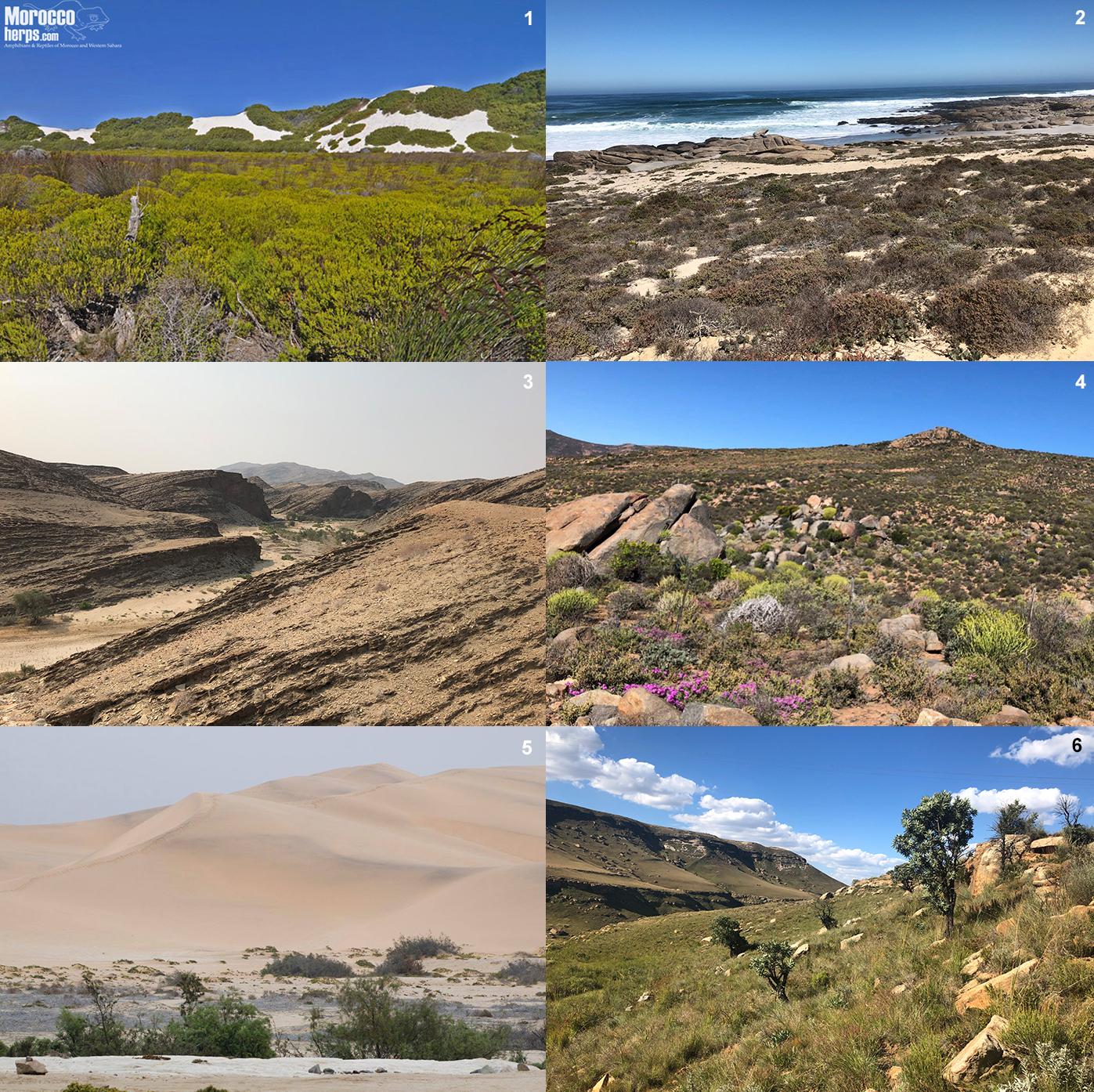 habitat-calechidna-fynbos-namaqualand-namibia-atropos-caudalis-cornuta-peringueyi-schneideri