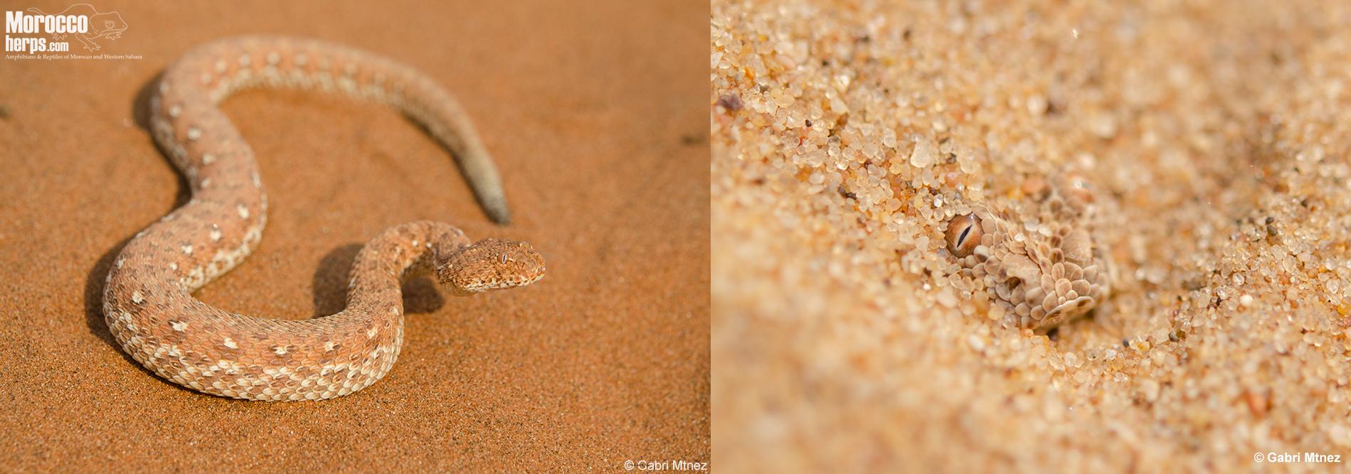 Bitis peringueyi-Soussvlei-Namibia-Swakopmund-Namibia