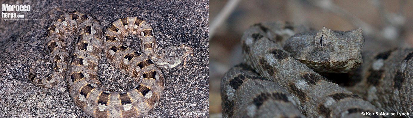 Bitis-xeropaga-Namibia-South-Africa