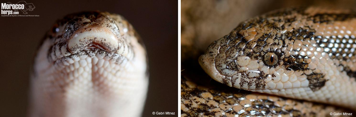 Detalles de la escama rostral. Vista frontal y lateral. Guercif. Foto: © Gabri Mtnez