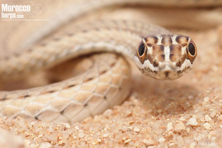 Detalle donde pueden apreciarse los grandes ojos de este ofidio con buena visión. Smara (Sáhara Occidental). Foto: © Raúl León.