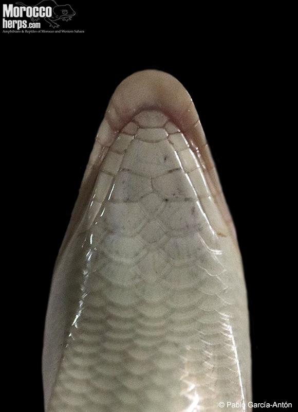 Plano gular de la cabeza donde se aprecia la morfología de las escamas gulares. Foto: © Pablo Garcia Antón