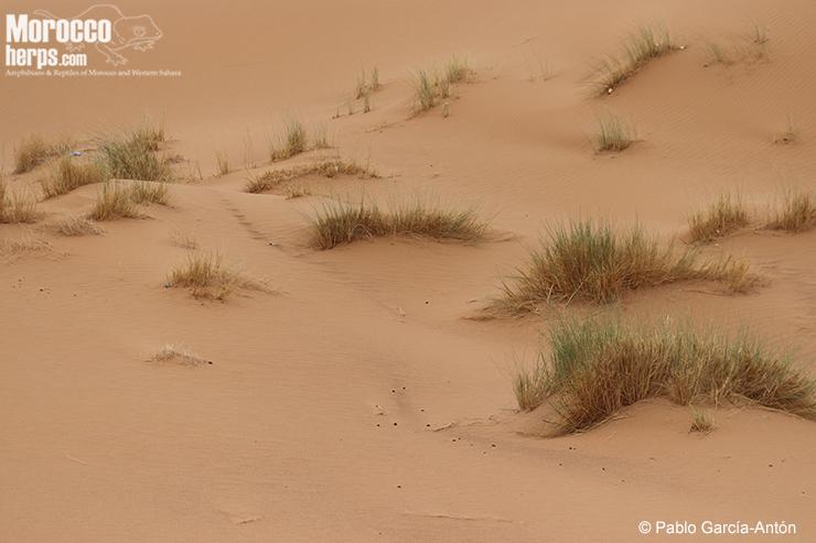 Hábitat de S.a.laterimaculatus. Dunas (erg) con vegetación baja, dispersa y tarajes. Merzouga. Foto: ©Pablo Garcia Antón
