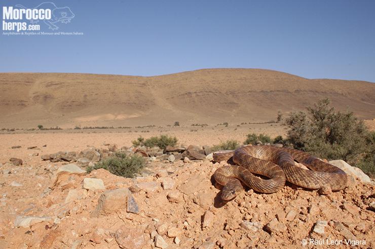 Ejemplar en hábitat. Assa. Foto: Raúl León Vigara