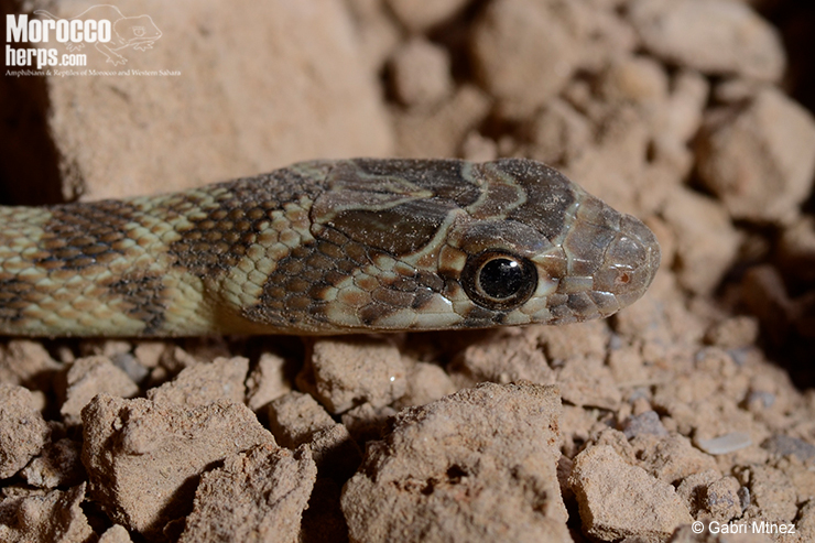 Detalle cabeza de Hemorrhois algirus. Aprecien la marca de herradura de este individuo. Tata. Foto: Gabriel Martínez del Mármol.