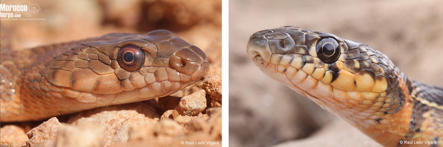 Comparación entre la cabeza de un ejemplar de H. algirus con una escama supralabial en contacto con el ojo (izquierda) y la de una H. hippocrepis con las escamas supralabiales separadas del ojo por una hilera de escamas suboculares (derecha). Izquierda: Assa. Derecha: Saidia. Fotos: Raúl León Vigara.